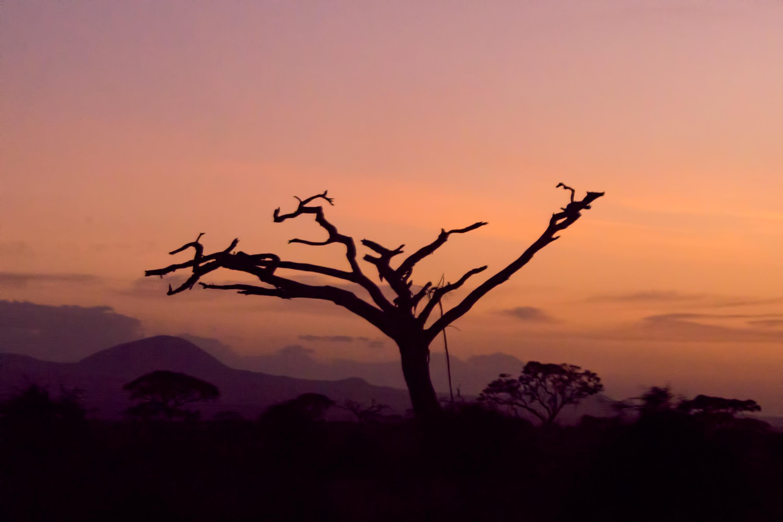 Dry Tree In Amboseli